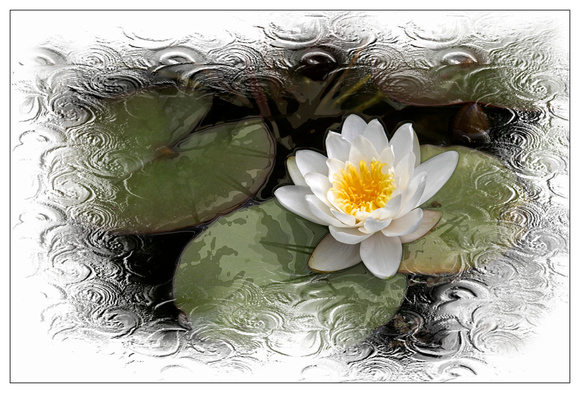 WaterLily Edged