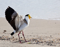 Masked Lapwing - Cairns
