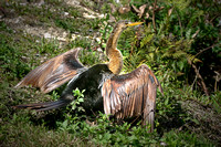 Drying Her Wings - Anhinga female - Corkscrew Swamp, Florida